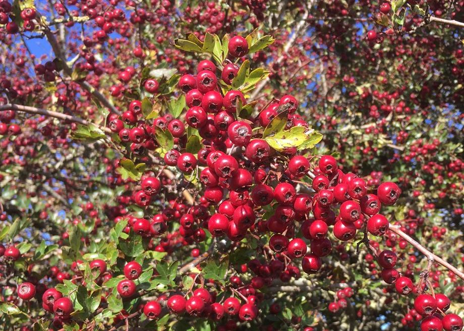 Plantes sauvages sucrées - fruits d'aubépine