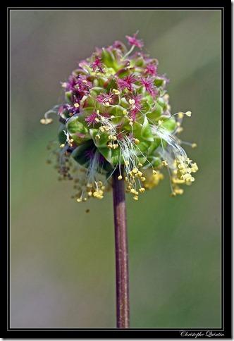 Sanguisorba minor - fleur