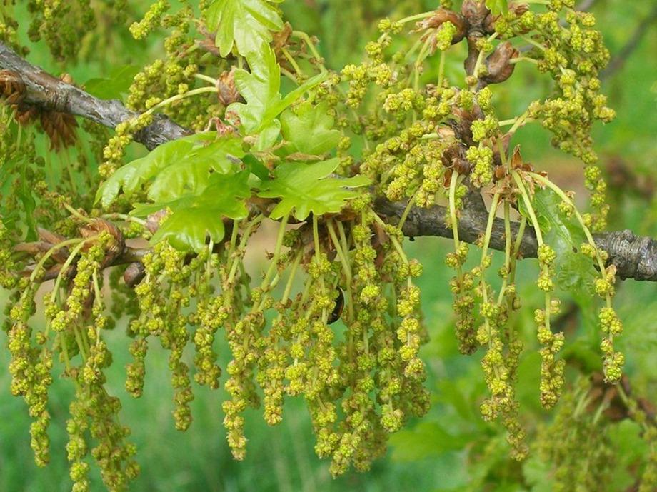 Quercus robur fleurs mâles et jeunes feuilles