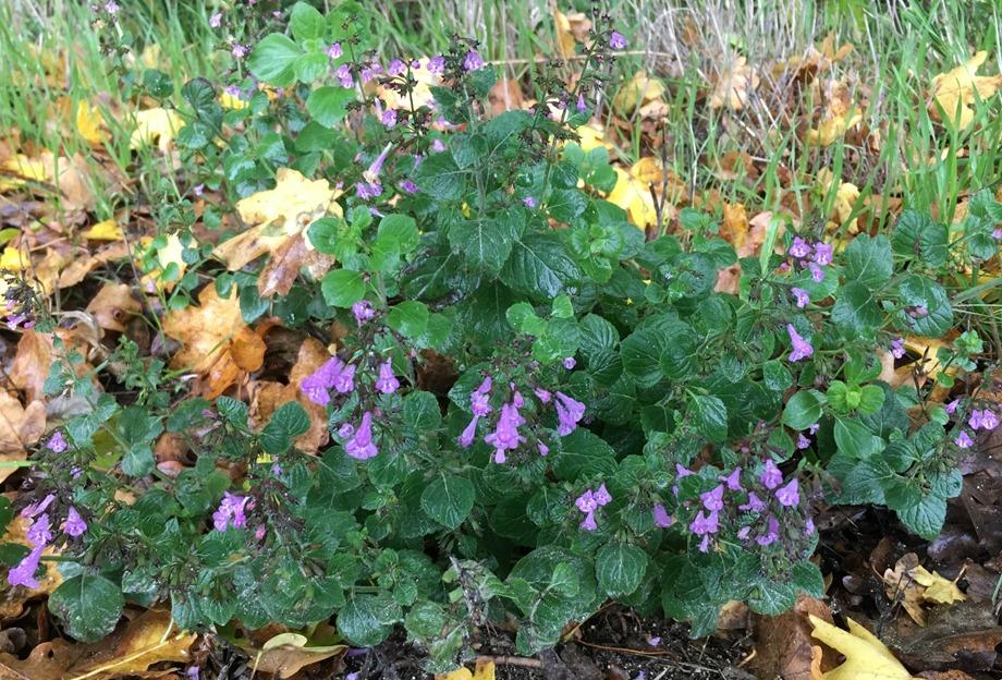 Calament à feuilles de menthe début novembre
