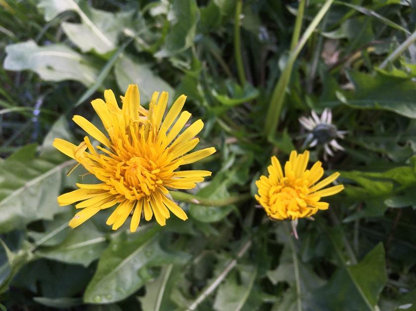 Pissenlit en fleur en novembre