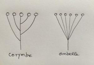 Corymbe et ombelle
