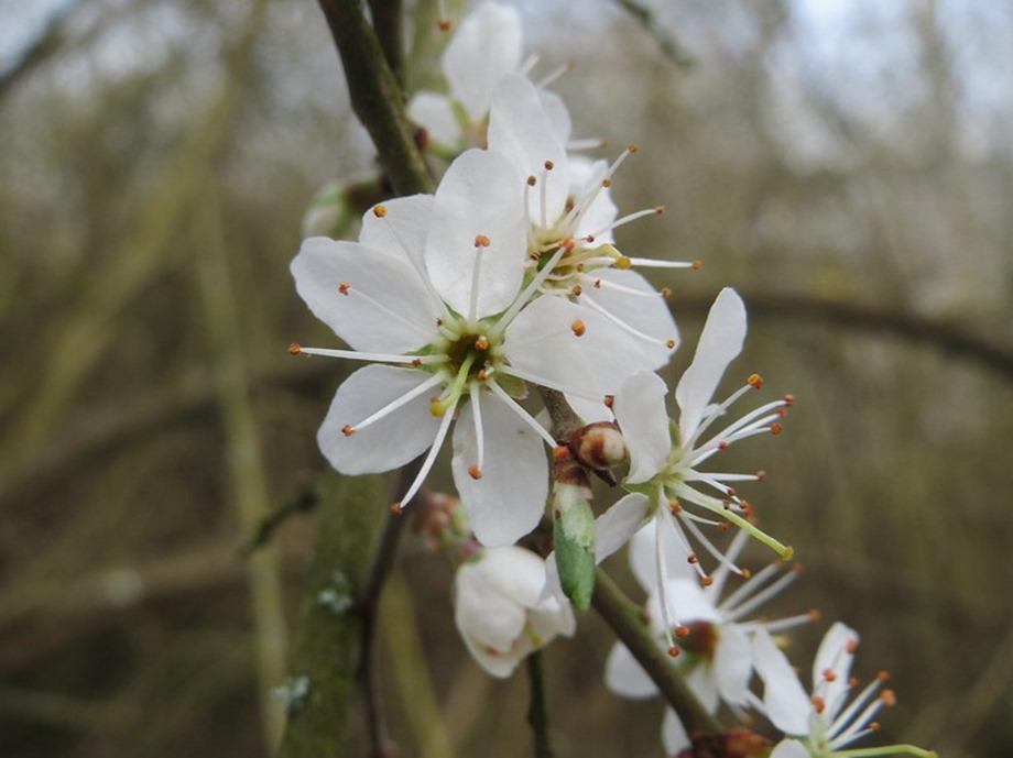 Fleur de prunellier photo Andreas Rockstein