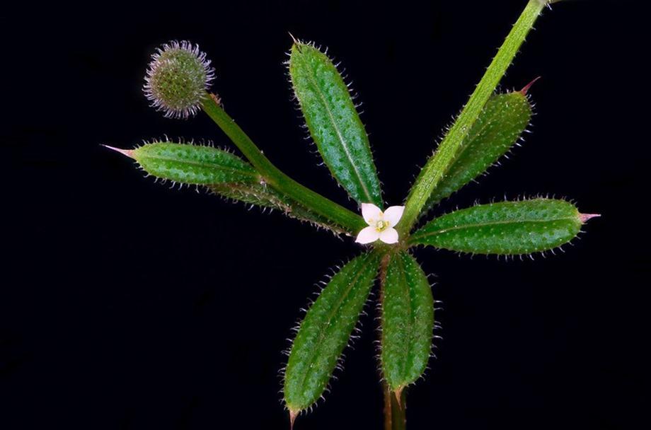 Galium aparine feuilles, fleur, fruit