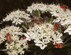 Fleurs de grande berce et insectes