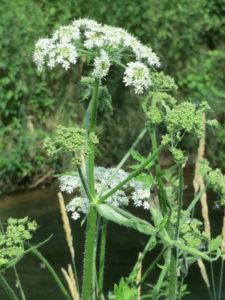 Grande berce, heracleum sphondylium, fleurs