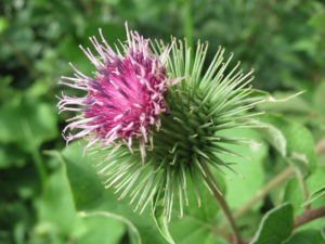 Inflorescence d'arctium lappa - photo Andreas Rockstein