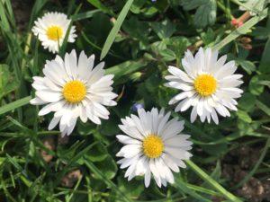 Pâquerettes en fleurs