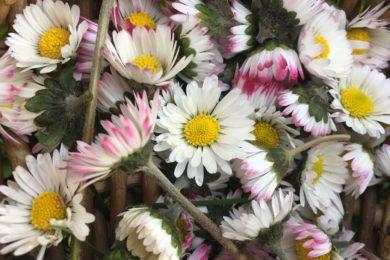 Cueillette de fleurs de pâquerette