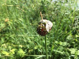 Inflorescence d'ail des vignes avec spathe