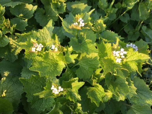 Aliiaire , premières fleurs