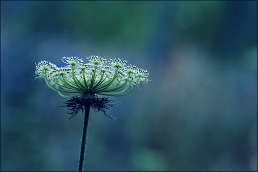 Carotte sauvage - photo Sylvia Sassen