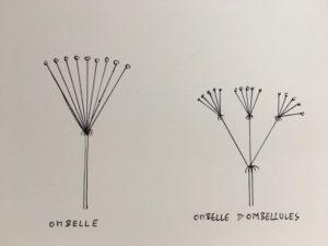 Ombelle d'ombellules