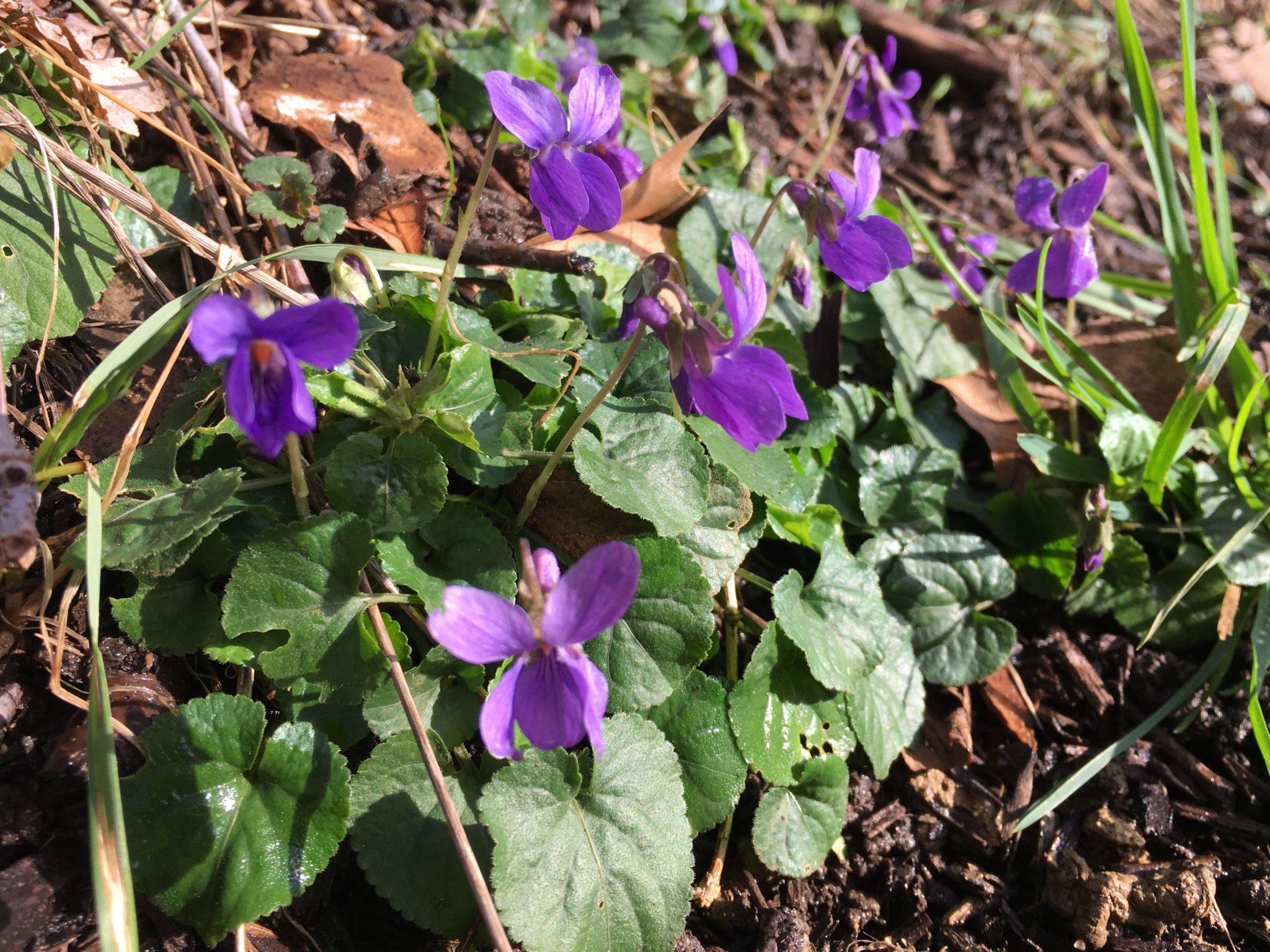 Violettes en fleur