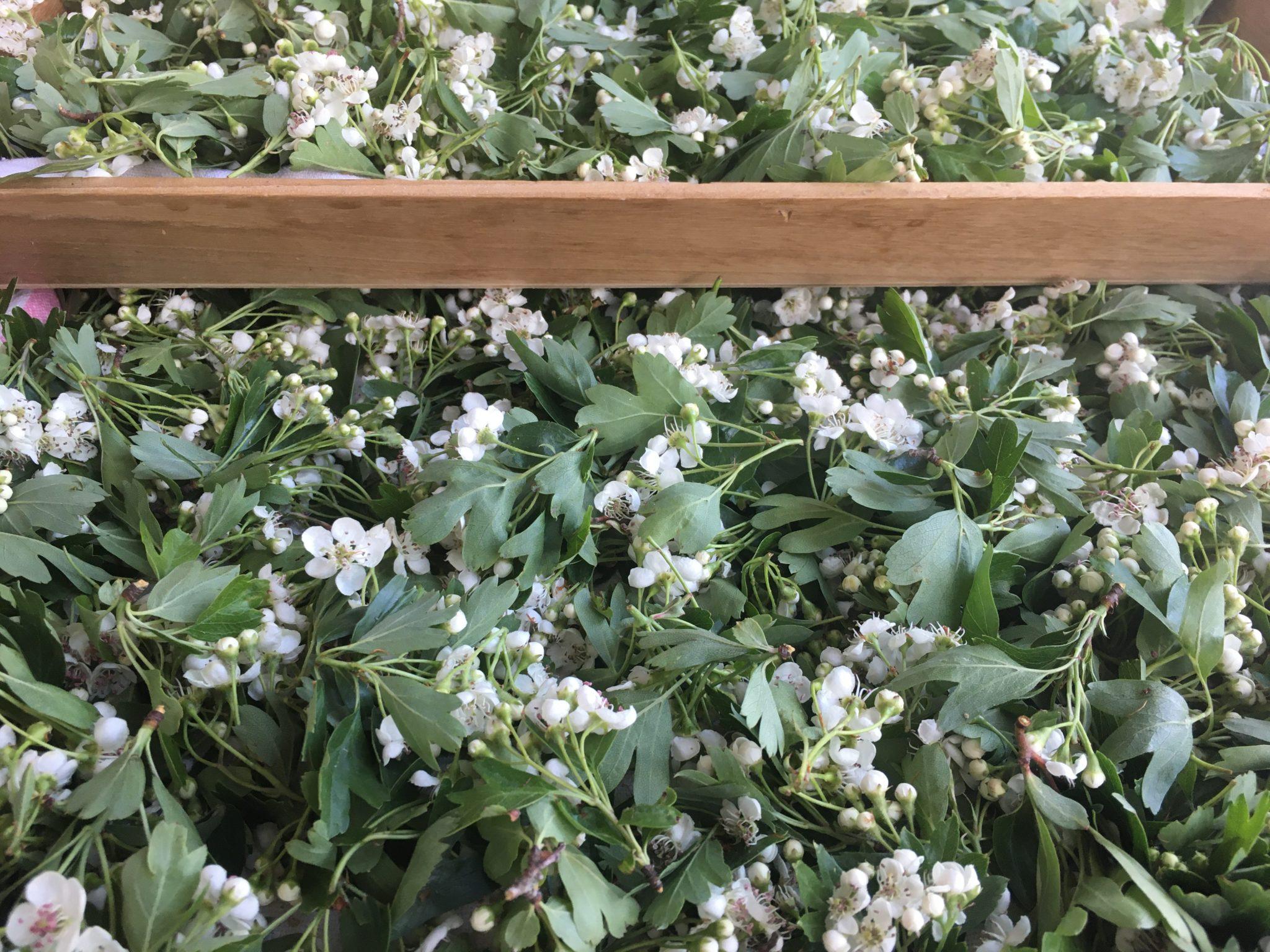 Fleurs d'aubépine mises à sécher