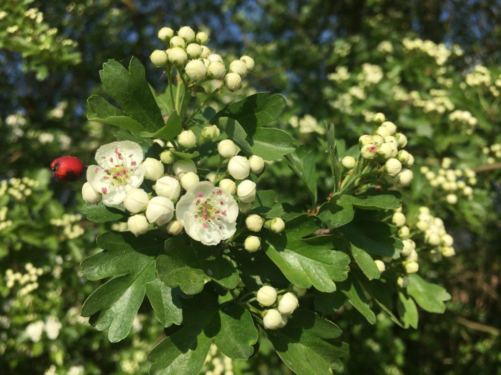 Fleurs et boutons floraux d'aubépine monogyne