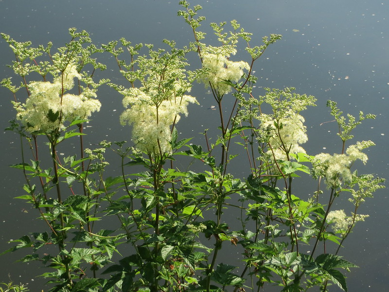Filipendula ulmaria - photo Andreas Rockstein