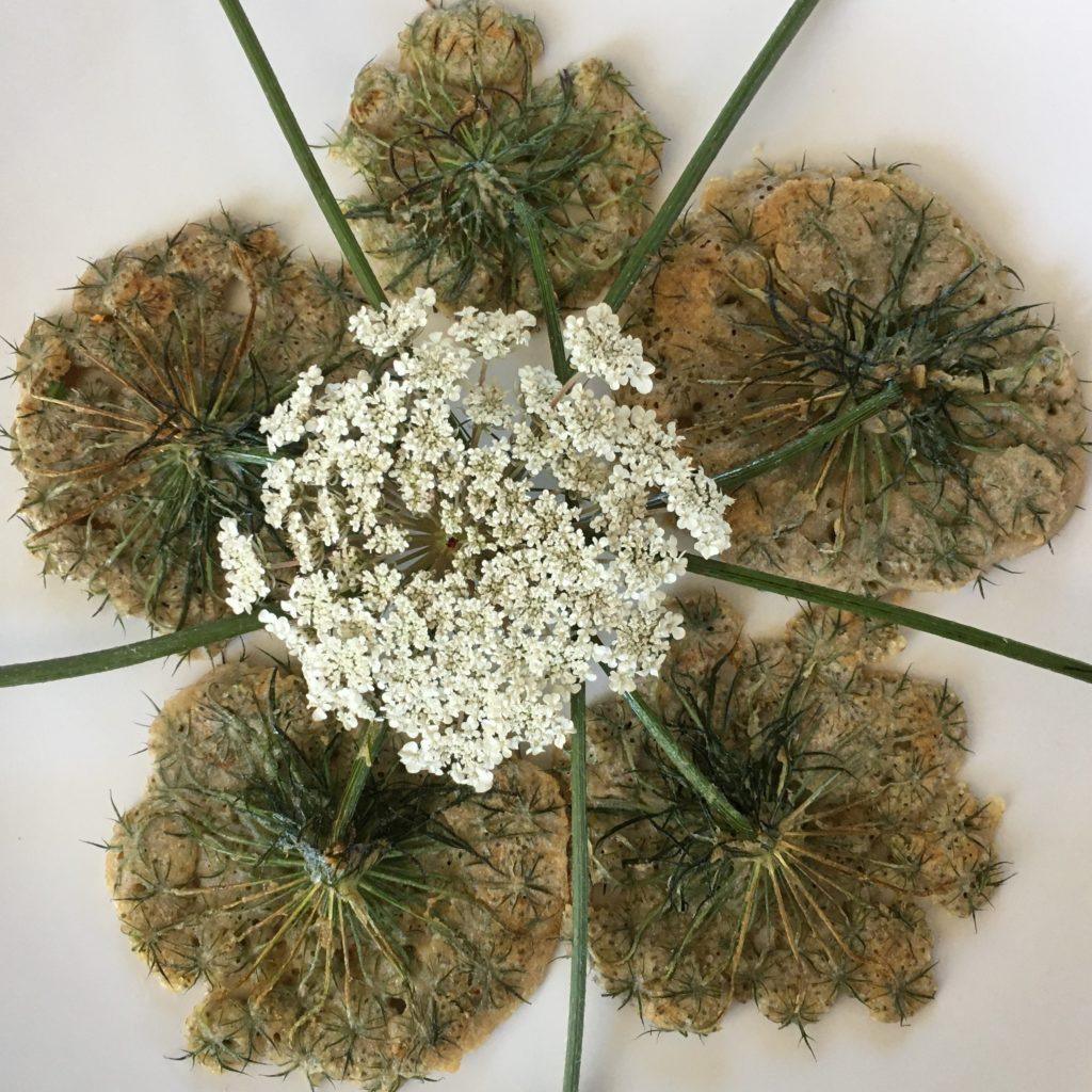 Beignets de fleurs de carotte