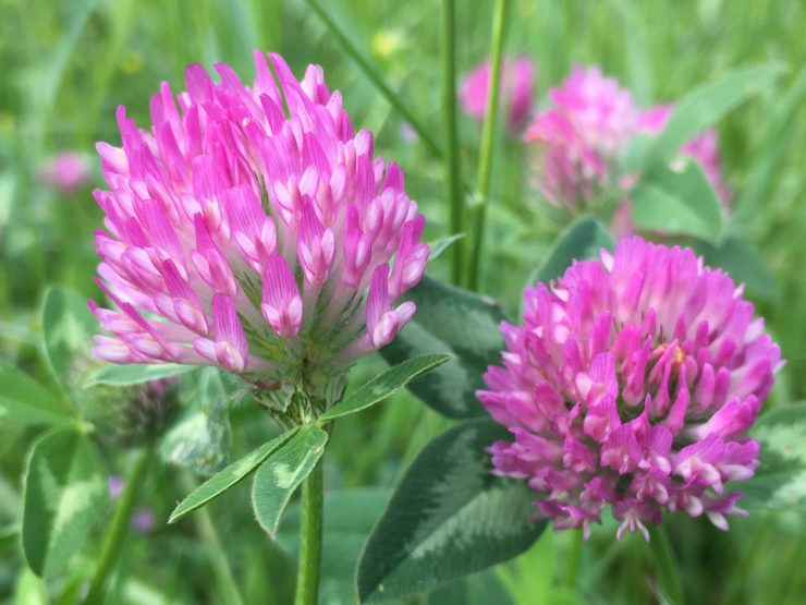 Fleurs de trèfle des prés