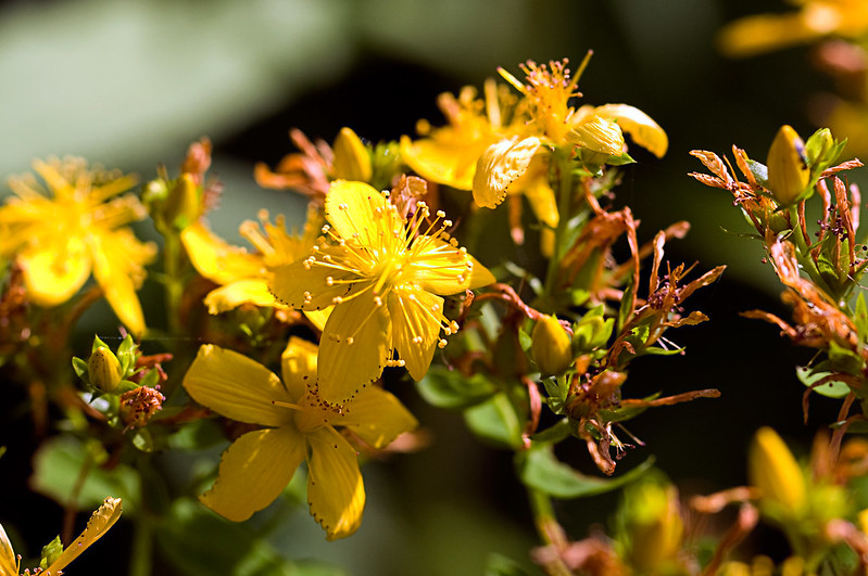 Millepertuis, fleur avec taches - photo blackpictures