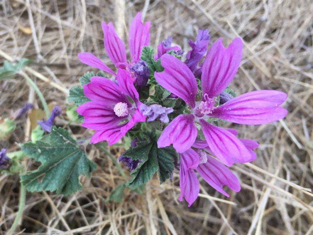 Fleurs de mauve sylvestre