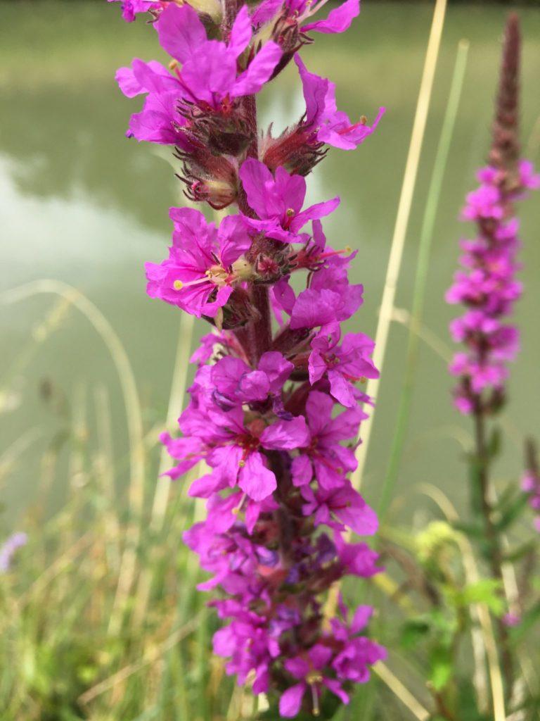 Fleurs de salicaire détail