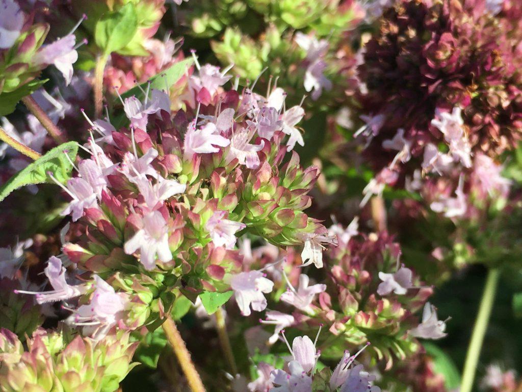 Fleurs avec les bractées vertes et violettes