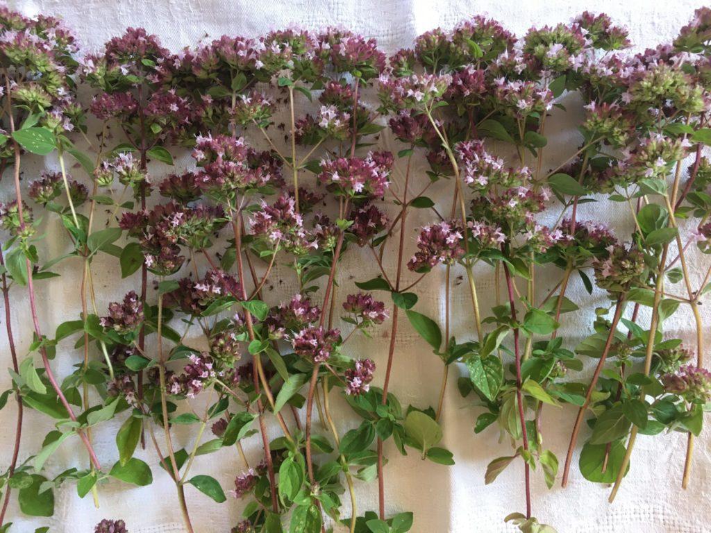 Sommités fleuries mises à sécher
