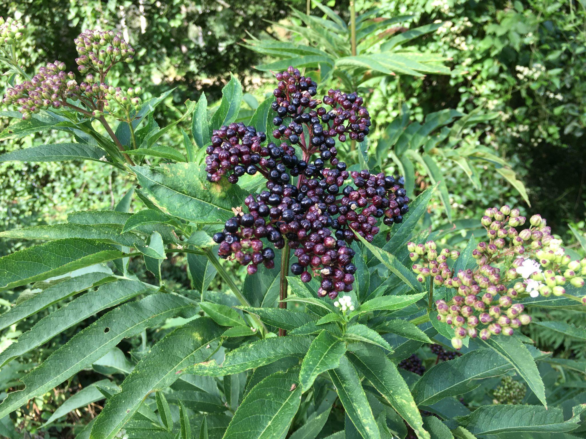 Fruits toxiques du sureau hièble