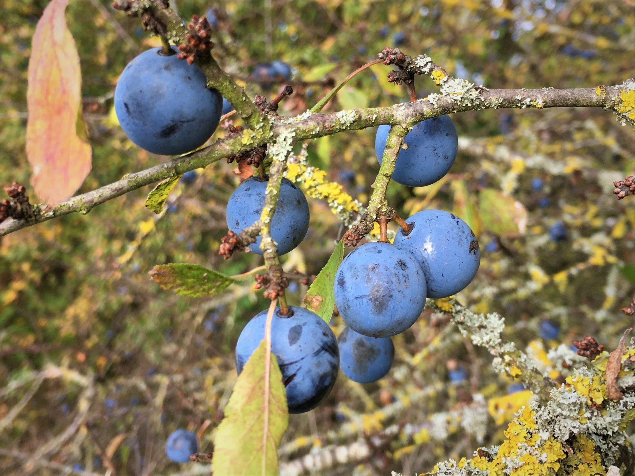 Prunelles sauvages en automne
