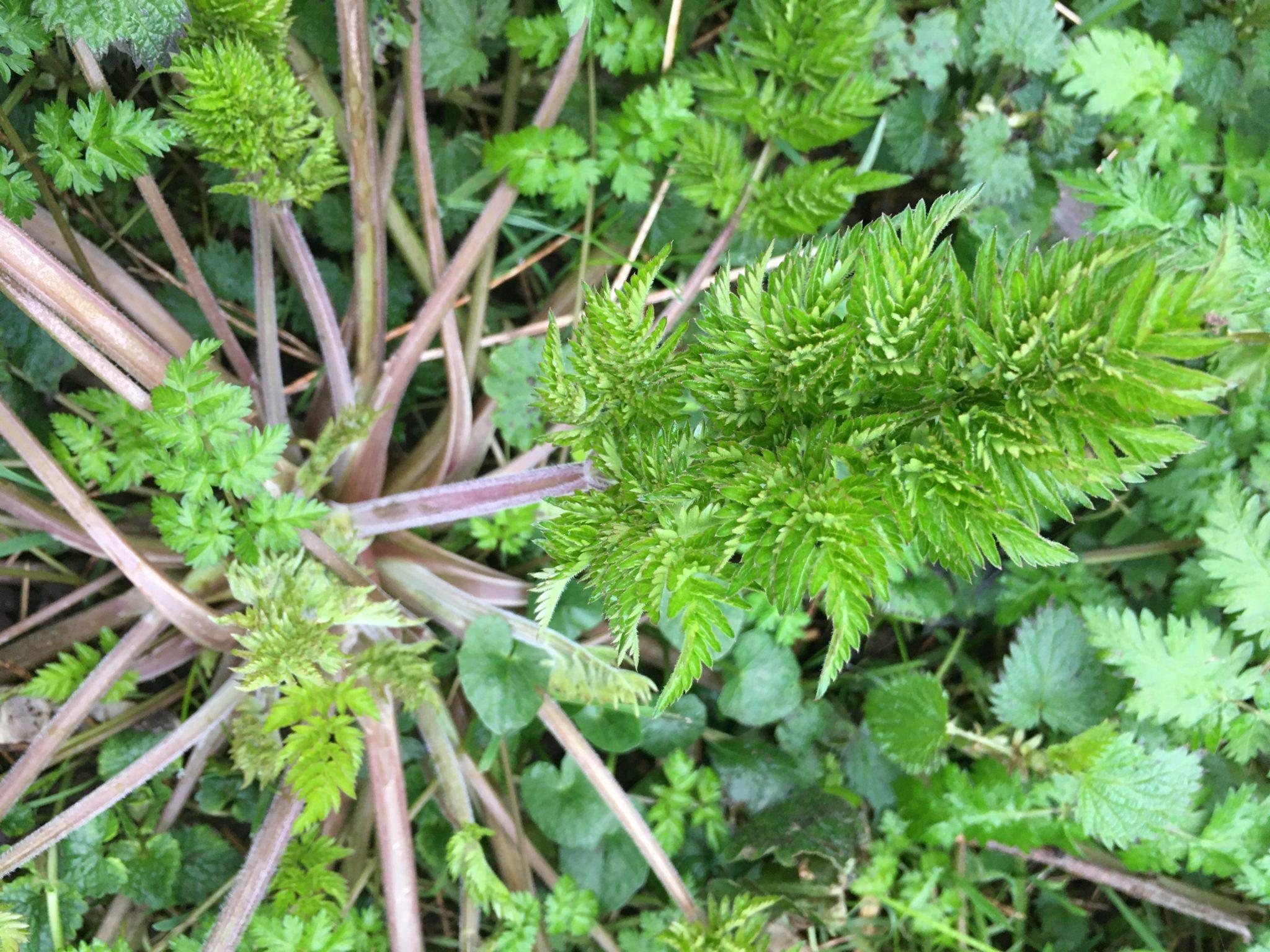 Feuilles de cerfeuil des bois - cueillir au mois de mars
