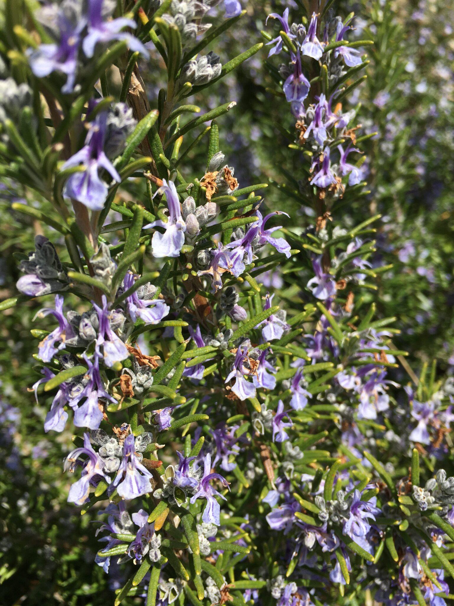 Romarin en fleurs - vertus thérapeutiques des plantes comestibles