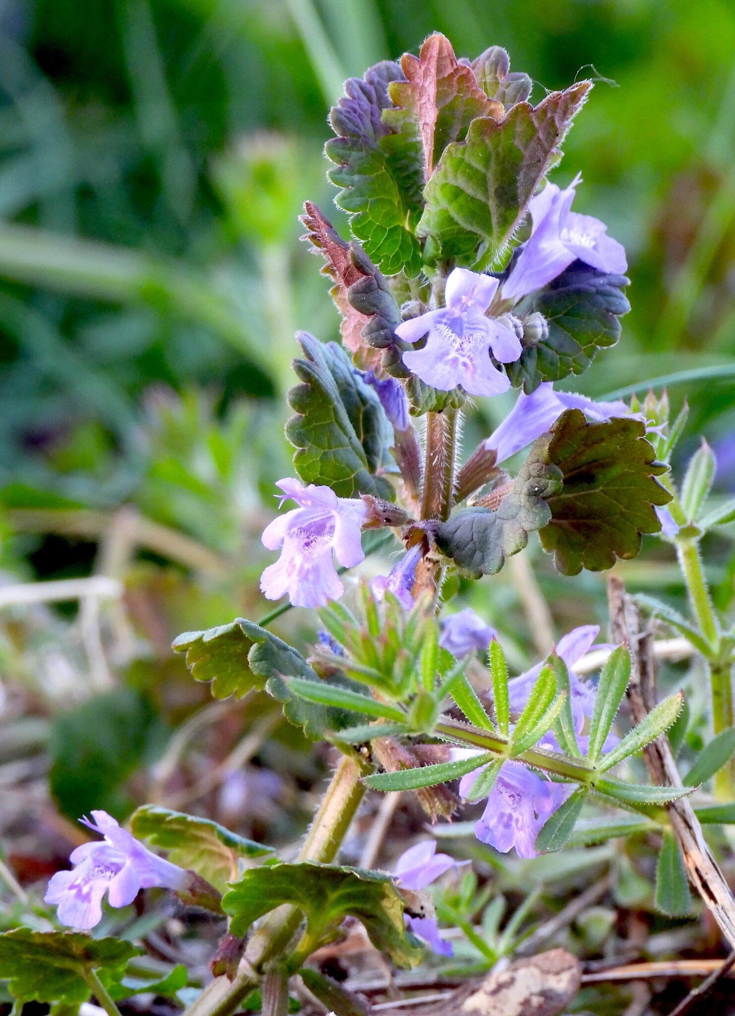 Lierre terrestre en fleurs