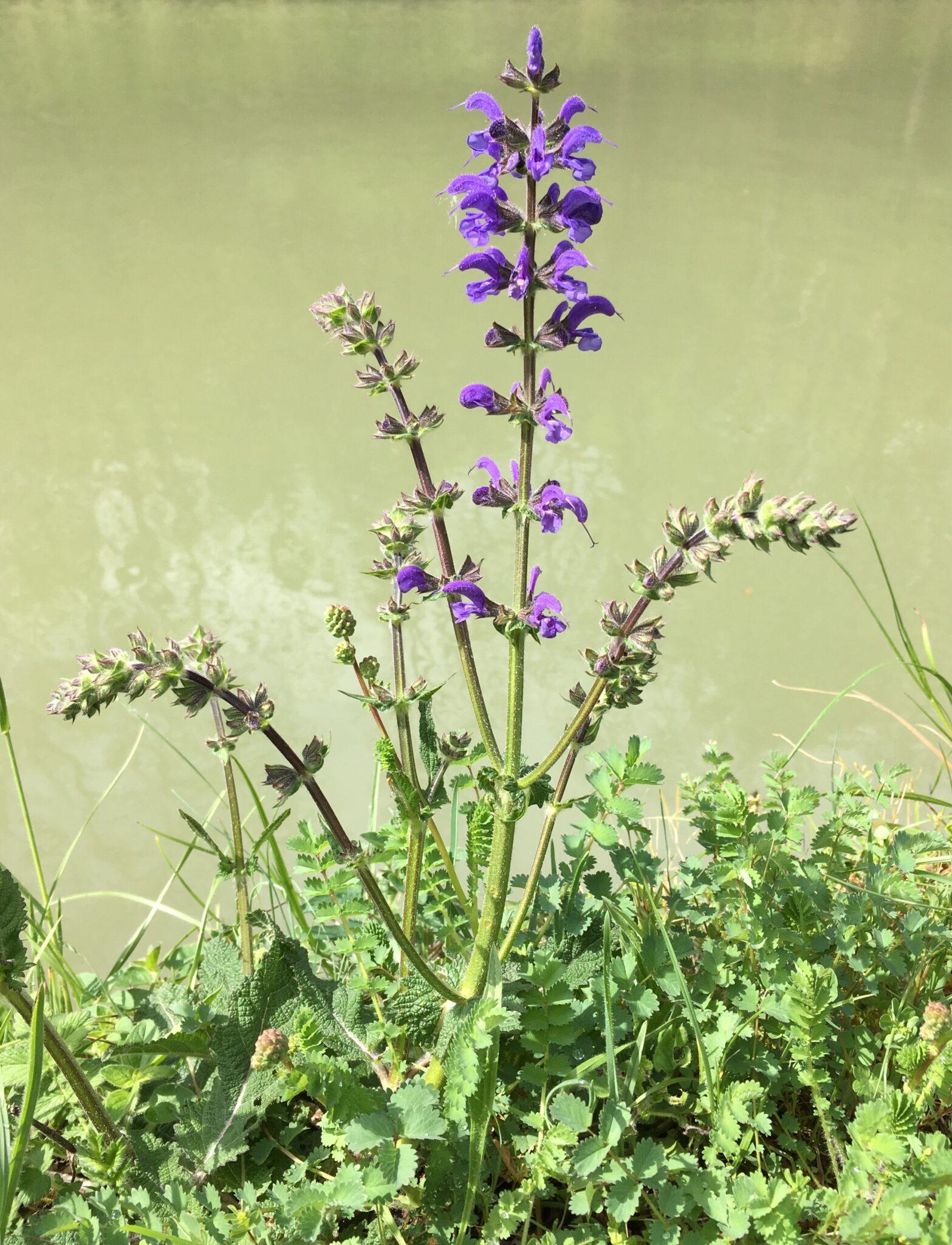 Sauge Salvia pratensis