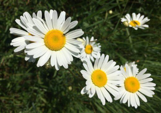 Marguerite fleurs