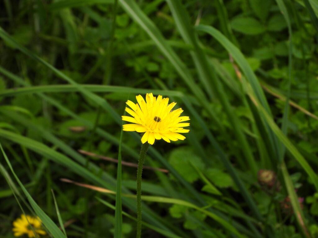 Fleur de liondent