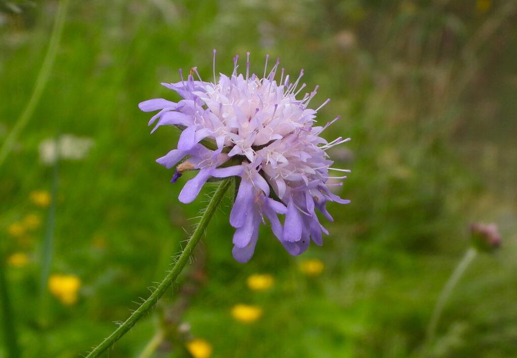 Fleurs comestibles d'été - Knautie